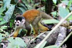 Un Squirrel Monkey du Corcovado